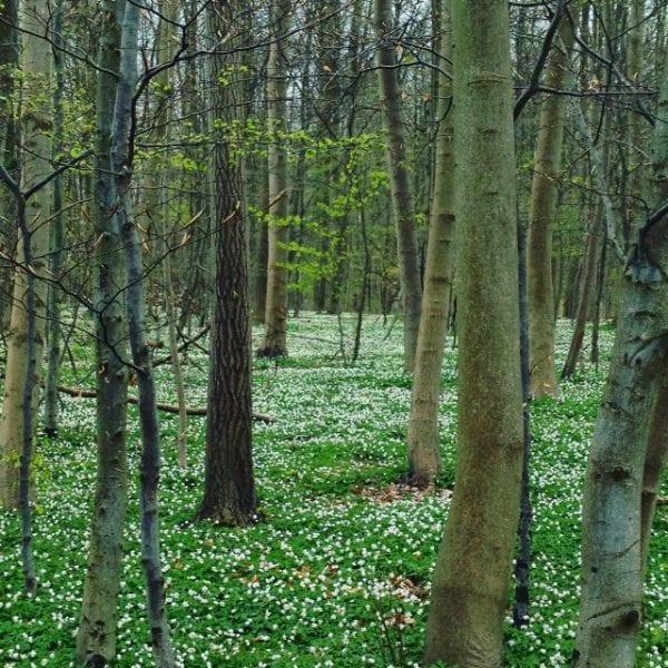 Forår i Asnæsskoven