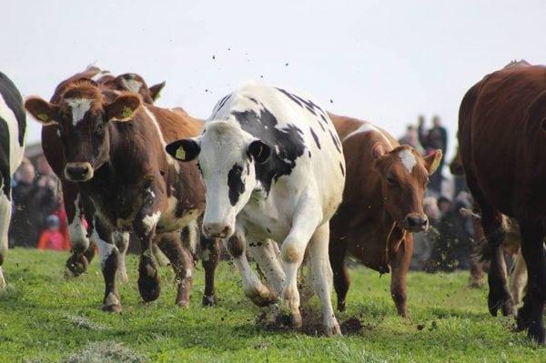 Økodag - køernes forårsfest '17