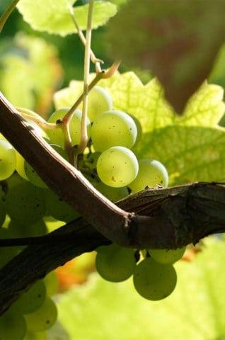 Alsace-smagning med Goosmann Vin