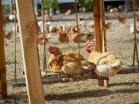 Foto: Happy Chicken