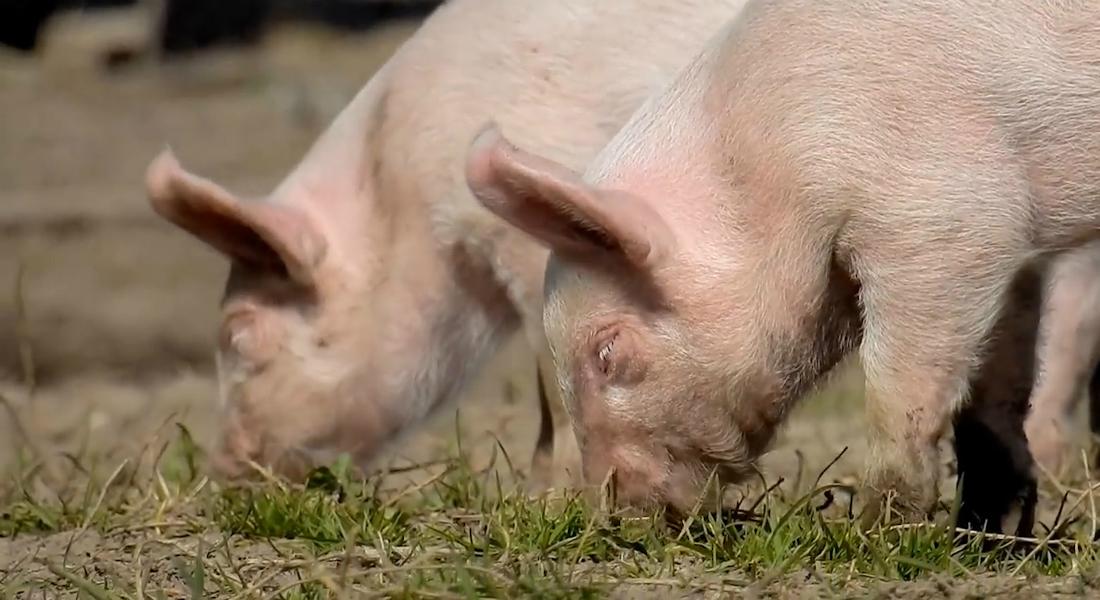 Hvilke coronavirus forekommer hos danske dyr